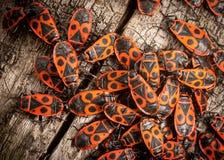 Insectes de feu photographie stock libre de droits