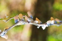 Insectes de feuille de Flatid Photographie stock
