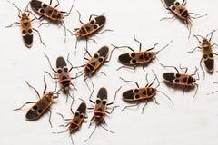 Insectes de Gutta, insectes de graine Image stock