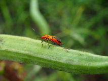 Insectes de parasite sur le fruit de roselle Images libres de droits