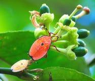 Insectes de puanteur ou insectes oranges en bronze Photos stock