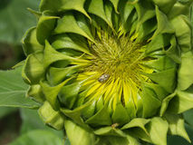 Insectes de puanteur sur le tournesol Photographie stock