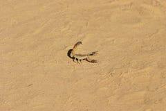 Insectes de rampement de scorpions dangereux d'arthropode dans le sable images libres de droits