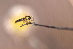 insectes de syrphidae Photographie stock