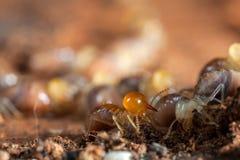 Insectes de termites dans la colonie Images libres de droits