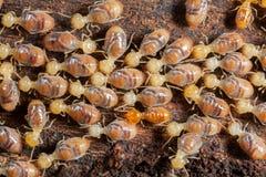 Insectes de termites dans la colonie Image stock