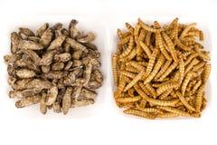 Insectes frits de sauterelles de molitors de crickets Images libres de droits