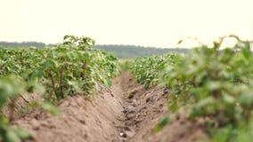 Insectes gais volant au-dessus d'un gisement de pomme de terre avec de hauts buissons en été dans le ralenti banque de vidéos