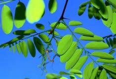 Insectes joignant les feuilles vert clair Photos stock