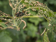 Insectes joignant sur la feuille déchiquetée Photos stock
