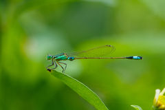 Insectes, libellule, Damselfly Image stock