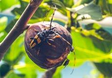 Insectes mangeant la figue sur un arbre photos stock