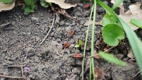 Insectes oranges au sol marchant sur le sol clips vidéos