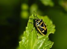 Insectes, pentatomidae Images libres de droits