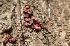 Insectes rouges Images libres de droits