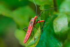 Insectes rouges Image stock