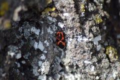 Insectes rouges Photos libres de droits