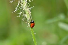 Insectes rouges d'insecte sur l'herbe Photographie stock libre de droits