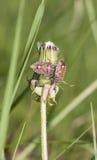 Insectes rouges de puanteur Image stock