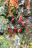Insectes rouges géants Images stock
