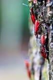 Insectes rouges géants Photo libre de droits