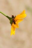 Insectes rouges sur une fleur jaune Photographie stock libre de droits