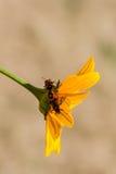 Insectes rouges sur une fleur jaune Image libre de droits