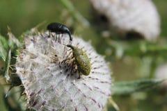 Insectes sur la fleur blanche Photos libres de droits