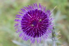 Insectes sur la fleur de chardon Photo stock