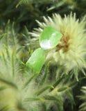 Insectes verts de puanteur Images libres de droits