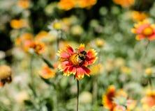 Insecthommel op een bloem met rood en geel bloemblaadjesclose-up Royalty-vrije Stock Afbeeldingen