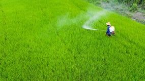 Insecticide de jet d'agriculteur dans la ferme de riz image libre de droits