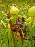 insectivore φυτό σταμνών Στοκ Εικόνες