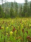 insectivore φυτό σταμνών Στοκ φωτογραφία με δικαίωμα ελεύθερης χρήσης