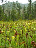 Insectivore Pitcher Plant Royalty Free Stock Photography
