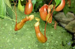 Insectivorous plant nepenthes. Exotic insectivorous plant nepenthes, that catch insect Royalty Free Stock Photo