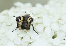 Insecto-abeja Imágenes de archivo libres de regalías
