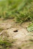 Insecto (abeja de mina, fulva rojizos de Andrena) en la tierra Imágenes de archivo libres de regalías