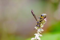 Insecto (abeja) en la flor de la hierba Foto de archivo libre de regalías