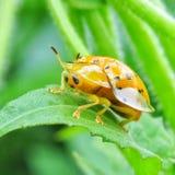 Insecto amarillo Foto de archivo libre de regalías