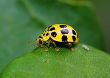 Insecto amarillo de la señora con los puntos negros Foto de archivo libre de regalías
