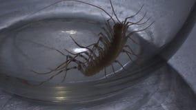 Insecto asustadizo del artrópodo que intenta subir fuera del tarro de cristal atento, entomophobia metrajes