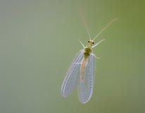 Insecto con alas vidrio Foto de archivo libre de regalías