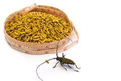 Insecto con la cinta métrica alrededor del arroz aislado en blanco Imagen de archivo