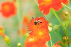 Insecto con la flor del cosmos Fotografía de archivo