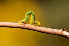 Insecto Dacca de Caterpillar Foto de archivo libre de regalías