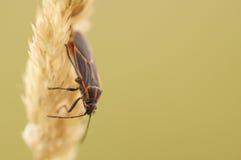 Insecto de Boxelder en hierba amarilla en caída Fotos de archivo