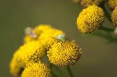 Insecto de Capsid Fotografía de archivo libre de regalías