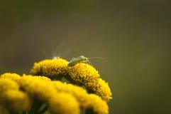 Insecto de Capsid fotografía de archivo