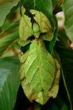 Insecto de hoja Imagenes de archivo